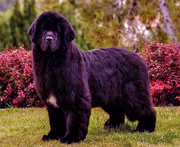 Image of Big Black Fluffy Dog Breeds Newfoundland