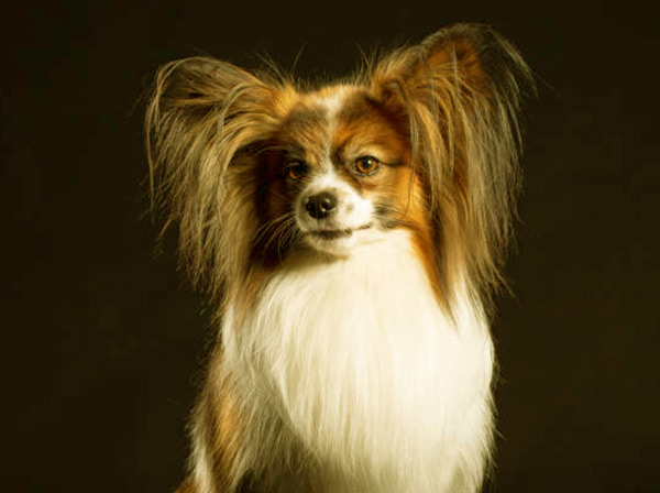 Image of Small White Fluffy Dog, Papillon