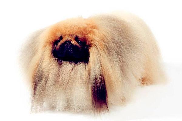 Image of Small Black Fluffy Dog, Pekingese