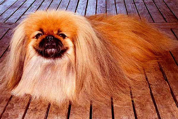 Image of Pekingese