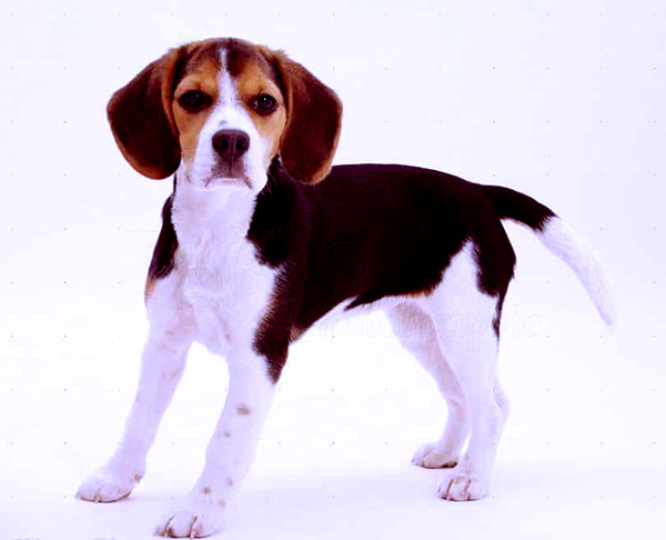Image of Pocket Beagle