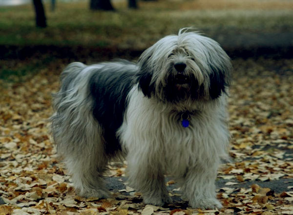 Image of Polish Lowland Sheepdog