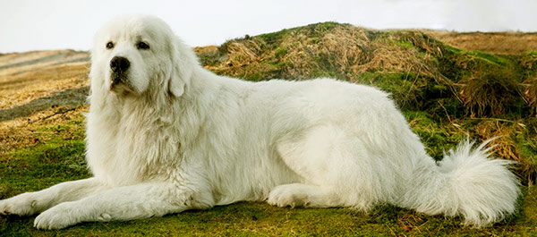 Image of Big White Fluffy Dog Breeds Polish Tatra Sheepdog