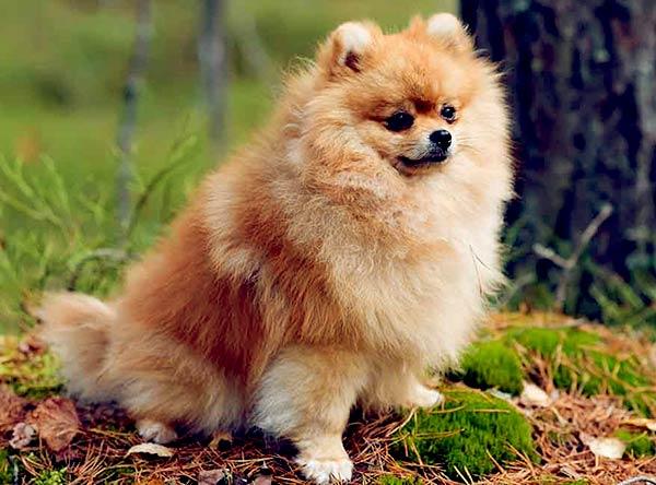 Image of Small White Fluffy Dog, Pomeranian
