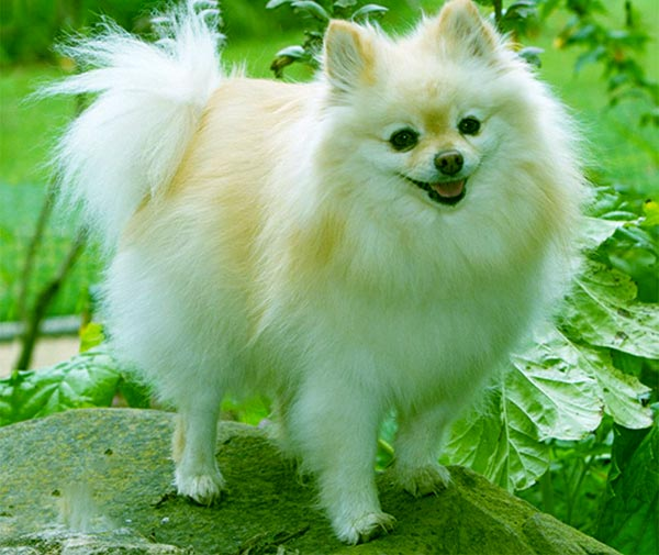Image of Pomeranian