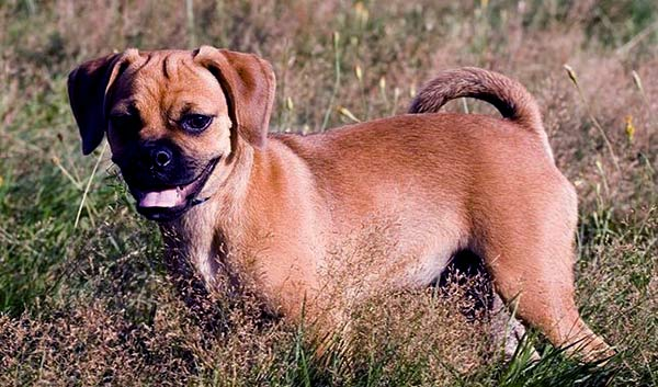 Image of Puggle