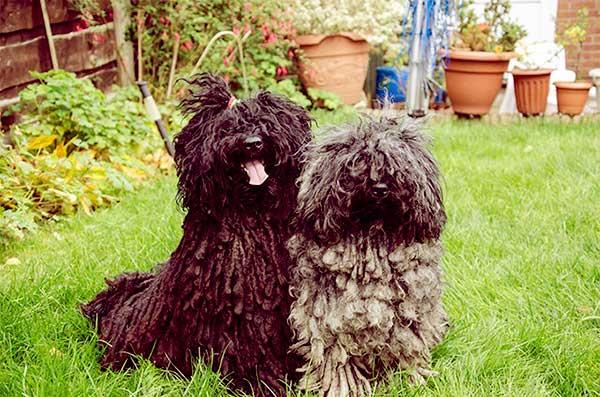 Image of Small Black Fluffy Dog, Puli