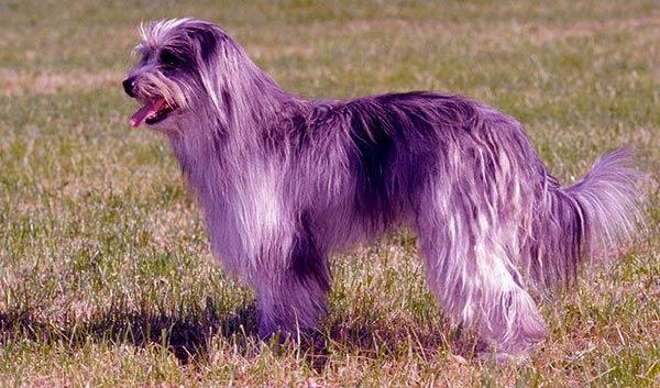 Image of Pyrenean Shepherd