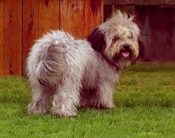 Image of Small Black Fluffy Dog, Russian Tsvetnaya Bolonka