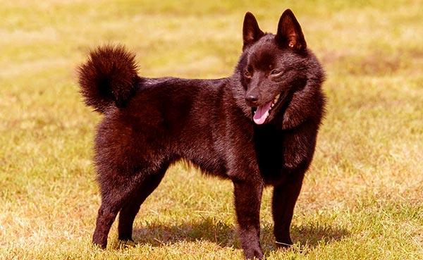 Image of Small Black Fluffy Dog, Schipperke