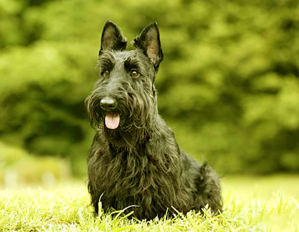 Image of Small Black Fluffy Dog, Scottish Terrier