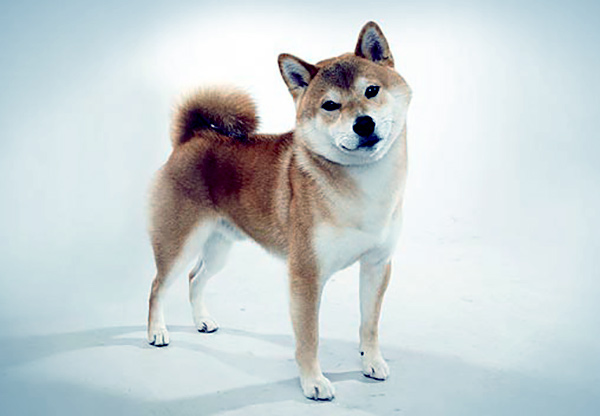 Image of Shiba Inu