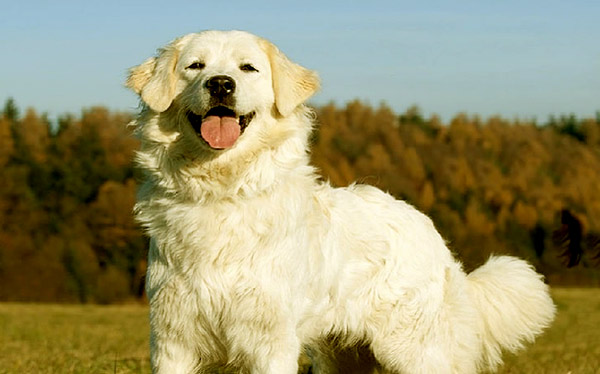 Image of Big White Fluffy Dog Breeds Slovensky Cuvac