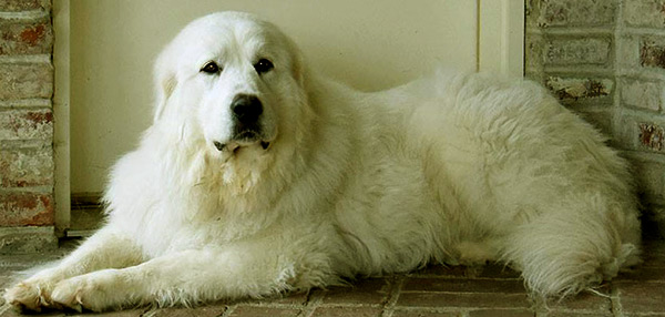Image of Big White Fluffy Dog Breeds The Great Pyrenees