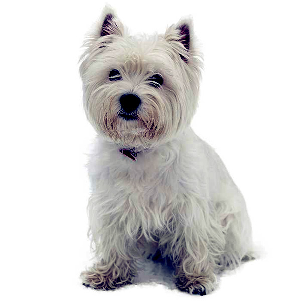 Image of Small White Fluffy Dog, West Highland White Terrier