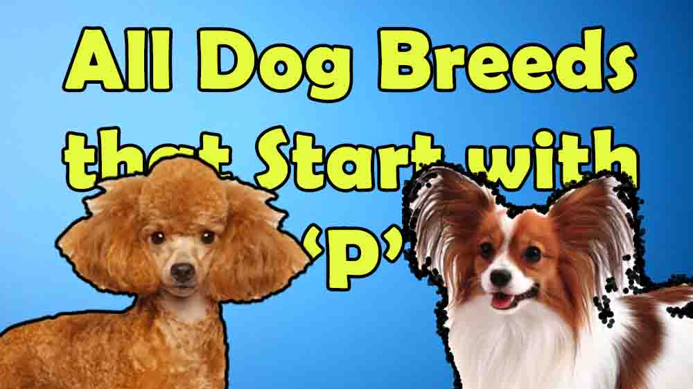 12 Dog Breeds that Start with \u2018P\u2019   Everything About All ...